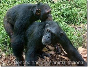 Pan-paniscus-bonobo